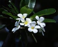 Plumeria Photos libres de droits