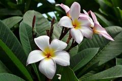 Plumeria Стоковые Изображения