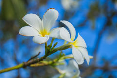Plumeria Images libres de droits