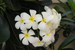 Plumeria Royaltyfri Fotografi
