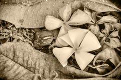 Plumeria Στοκ φωτογραφίες με δικαίωμα ελεύθερης χρήσης