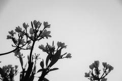 Plumeria arkivfoto