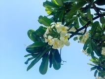 Plumeria Стоковое Изображение