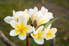 Plumeria photos stock