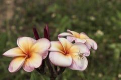 Plumeria Fotografia Stock