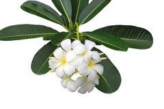 Plumeria Στοκ Εικόνες