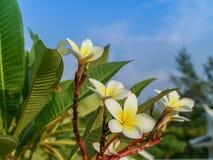 Plumeria Стоковые Фото