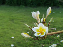 Plumeria Стоковое фото RF