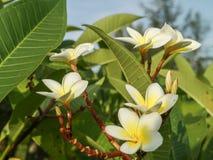 Plumeria Стоковые Фотографии RF