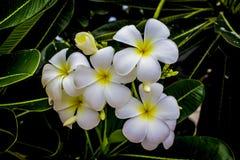 Plumeria 5 Στοκ Εικόνες