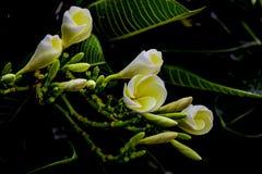 Plumeria 6 Στοκ Εικόνες