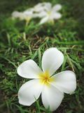 Plumeria Стоковые Изображения RF