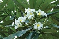 Plumeria Стоковая Фотография