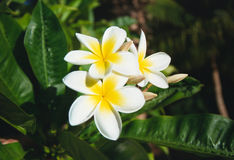 Plumeria Acutifolia Flowers. In a tropical garden, Maui Royalty Free Stock Image