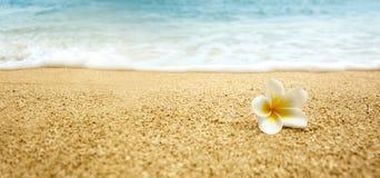 Plumeria alba (άσπρο Frangipani) στην αμμώδη παραλία Στοκ εικόνες με δικαίωμα ελεύθερης χρήσης