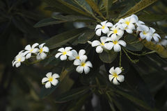 Plumeria alba στον κήπο Στοκ φωτογραφίες με δικαίωμα ελεύθερης χρήσης