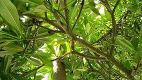 Plumeria Alba almacen de metraje de vídeo