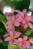 Plumeria alba Στοκ Εικόνα