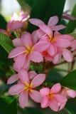 Plumeria alba Lizenzfreie Stockbilder
