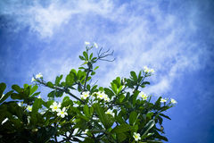 Plumeria Alba Royalty Free Stock Photo