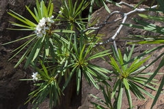 Plumeria alba blooming on Caribbean island Stock Images