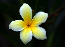 Plumeria Alba Flower Close-up. Tropical flower Plumeria alba captured in Bangkok,Thailand in a Hot July afternoon Royalty Free Stock Photos
