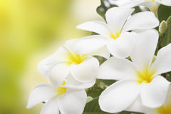 Plumeria alba flowers Stock Photos