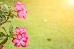 Plumeria alba with green leaves on a blurred background. stock photography