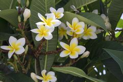 Plumeria alba tropical evergreen shrub flowers in bloom, white yellow flowering plant. Green foliage Royalty Free Stock Image