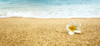 Plumeria alba (White Frangipani) on sandy beach. Tropical flower Plumeria alba (White Frangipani) on sandy beach Royalty Free Stock Images