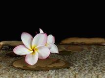 Plumeria amarelo cor-de-rosa doce ou frangipani da flor na água e no peb Fotografia de Stock