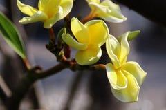 Plumeria amarillo Foto de archivo