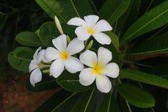 Plumeria après avoir plu la belle fleur blanche Image stock