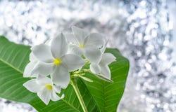 Plumeria, aromatherapy, όμορφο, ομορφιά Στοκ Εικόνες