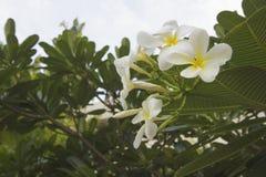 Plumeria auf dem Plumeriabaum Lizenzfreie Stockfotografie