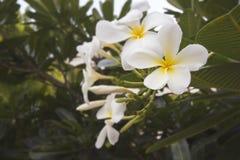 Plumeria auf dem Plumeriabaum Stockfotografie