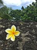 Plumeria auf schwarzer Sandstrand Ozeanszene in Maui Hawaii Stockfotos