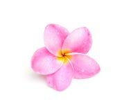 Plumeria auf weißem Hintergrund Lizenzfreie Stockfotografie
