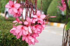 Plumeria avec le fond de nature dans sunnyday Photo stock