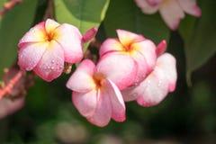 Plumeria avec le fond de nature dans sunnyday Photos stock