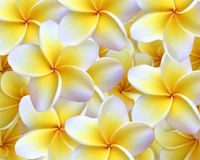 Plumeria Background Royalty Free Stock Photo