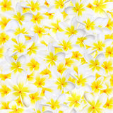 Plumeria Background Royalty Free Stock Images