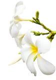Plumeria-Badekurort-Blume getrennt Stockfotos