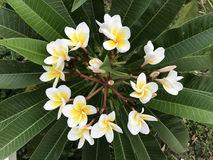 Plumeria. Beautiful Plumeria flowers in a circle on the tree Stock Photos