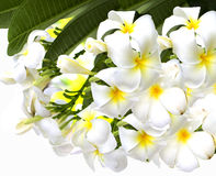 Plumeria. Beautiful and fragrant white flowers Stock Photography
