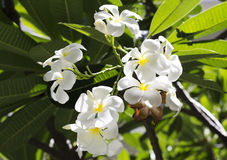 Plumeria. Beautiful and fragrant white flowers Royalty Free Stock Images