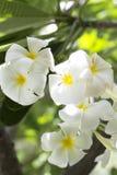 Plumeria. Beautiful and fragrant white flowers Stock Photos