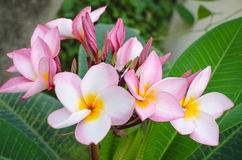 The Plumeria beautiful pink inflorescence Royalty Free Stock Photo