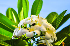 Plumeria Royalty Free Stock Photography