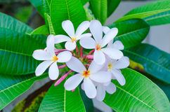Plumeria beautiful white inflorescence on green leaf Stock Photo